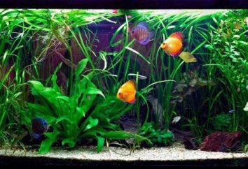 """Aquarium usine """"Vallisneria spiralis"""": description, reproduction, entretien et soins"""
