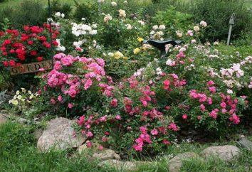 Cuando es mejor plantar rosas – primavera o el otoño? La plantación de rosas en el campo abierto