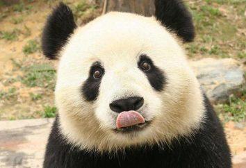 Panda – è un orso o un procione? Descrizione del panda