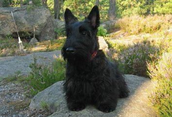 Terrier escocés: foto, descripción de la casta