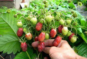 Strawberry Merchant: une description de la variété