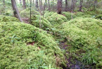 Le paludi di Sphagnum sono una varietà di zone umide. Torba di torba di Sphagnum