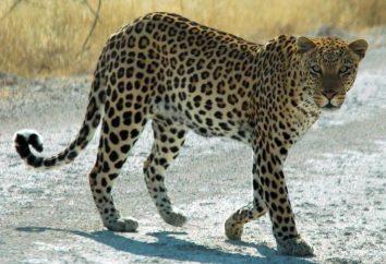 """Fisiologia, comportamento e velocidade leopardo: fatos interessantes do mundo da vida selvagem e familiaridade com o """"xará marine"""""""