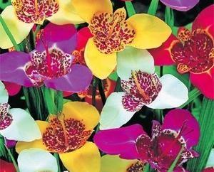 Tigridia: la culture et le soin des fleurs des Aztèques