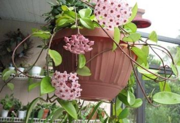 Hoya (fiore): come prendersi cura della casa, in particolare i trapianti e le raccomandazioni