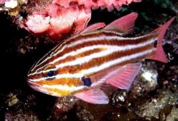 Kardynał ryby: akwarium zawartość