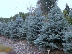 Blue Spruce: semina e la cura