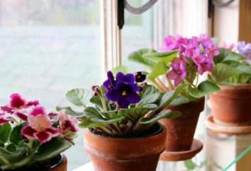 Come per sradicare le punte delle foglie viola giardinieri