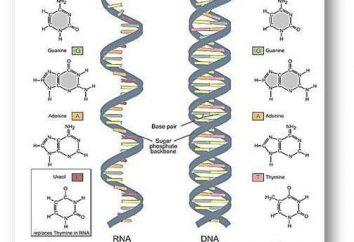 Dove è sintetizzata rRNA. RRNA RNA ribosomiale: caratterizzazione e descrizione della struttura