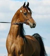 Konie arabskie – darem Najwyższego