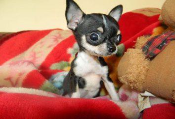 Tabela Chihuahua waga: moda czy konieczność?