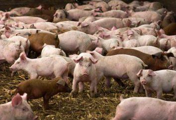 Czy to możliwe, aby korzystać z odchodów świń jako nawóz?