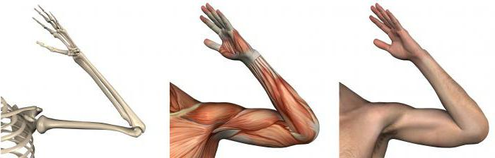 Anatomía. Articulación del codo: estructura, ligamentos, músculos y ...