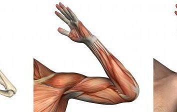Anatomia. Łokciowy: struktura, więzadeł, mięśni i funkcje