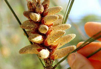 pollen de pin: propriétés utiles, comment prendre, quand la collecte. Recettes de la médecine traditionnelle