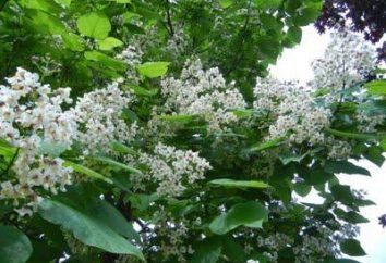Lindo e comum catalpa – para árvore de projeto do jardim