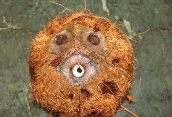 Wie eine Kokosnuss zu öffnen?