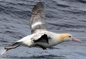 Onde habita na natureza de cauda curta albatroz? A descrição e foto de pássaro