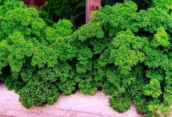 Pflanze Petersilie. Nutzen und Schaden