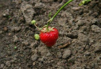 fraises de transplantation: prendre soin de la future récolte