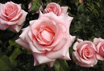 Rosa Tom Tom: la descripción de las variedades, la siembra y poda