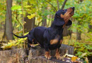 Rasa psa: burrowing Jamnik yagdterer, Yorkshire Terrier. Opis, charakterystyka, szkolenia