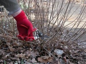 Dacia se tagliare le rose in inverno è necessario?