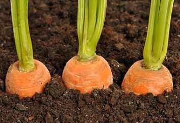 Finden Sie die Gründe, warum gehörnte Karotten zunehmende