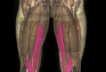 M. semimembranosus Oberschenkel: Die Lage, Struktur, Pathologie