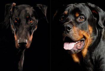 Doberman ou un Rottweiler? Comparaison et conseils hésitants