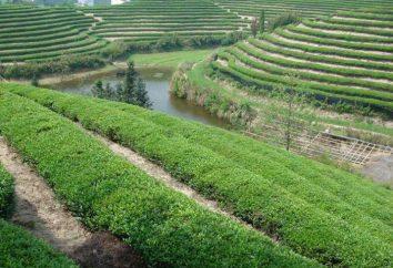 tè Gunpowder (tè): benefici e danni