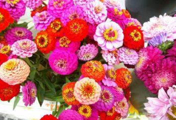 Bellissimi e senza pretese fiori Majors. raccomandazioni di piantagione e manutenzione