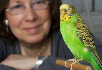 Jak uczyć budgies rozmawiać – komunikacja z ptactwa zwierzę