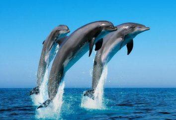 Dolphin – ryby czy nie?