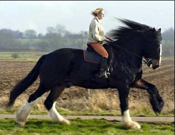 Größtes Pferd Rasse