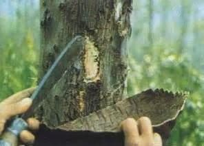 Benzoes: tropikalne drzewo, które posiada unikalne właściwości