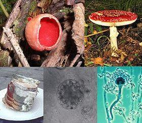 Reprodução dos fungos. Os métodos de propagação de fungos