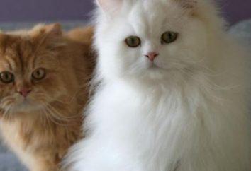Jakie są znane puszyste koty?
