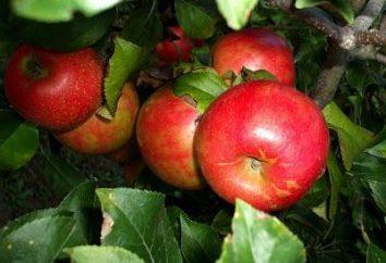 """Grado """"Melba"""" manzanas – una caída de regalo"""