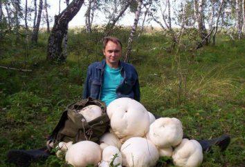 Golovach gigant: opis, siedlisko, a zwłaszcza gotowania