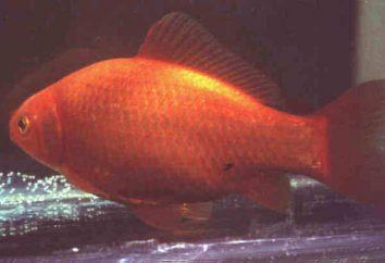El tipo más popular de peces de colores