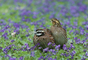Jak odróżnić samce od samic przepiórki: niezawodne sposoby