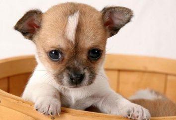 Chihuahua juguete del perrito o vivos