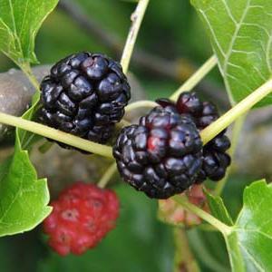schwarze maulbeere wirkung