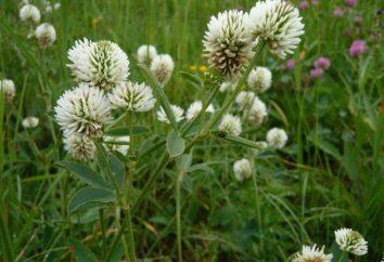Montagna Clover: Descrizione e medicinali
