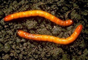 Como se livrar de wireworm em batata? dicas úteis