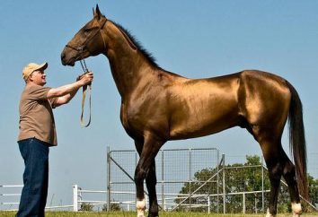 Akhal-Teke – los más bellos caballos en el mundo