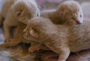Małe kocięta: jak odróżnić chłopca z dziewczyną?