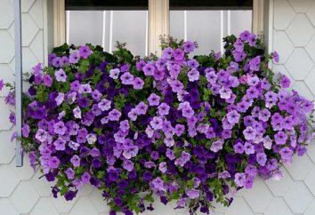 petunie pizzicare hang-Downing – la chiave per una lunga e rigogliosa fioritura