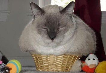 Co zrobić, gdy kot belches żółtą ciecz?